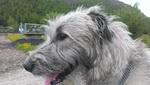 Wolfhound фотография